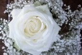 Let love be genuine and pure as the rose.